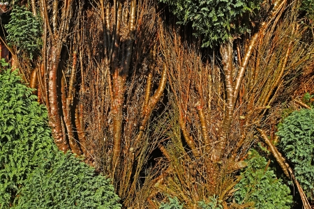 Home protection - thuja hedge, brown branches and green leaves