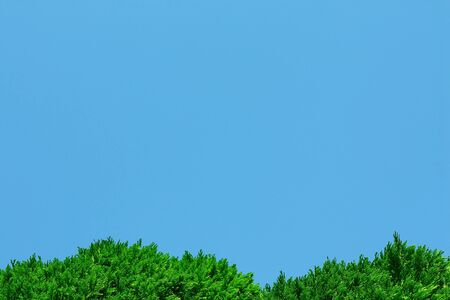 hedging: Background of green thuja foliage and blue clear cloudless sky