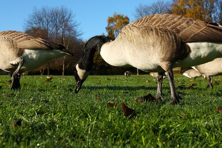 Close up of a group of gray grey geese pecking grass in the city park Stok Fotoğraf