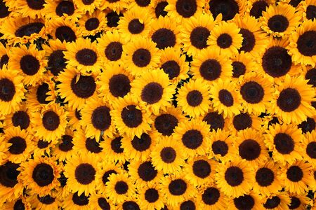 Many sunflowers forming yellow and dark brown colored background Stok Fotoğraf