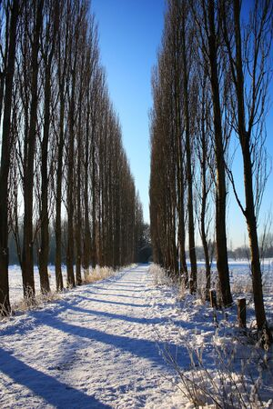 Winter landscape  Vertical shot of tall tree lines with shadows across path with bright blue sky and snowy field background