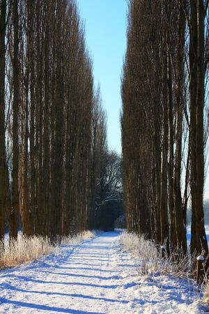 Tall tree alley in winter with shadows across a snowy walk in a countryside with a blue sky background