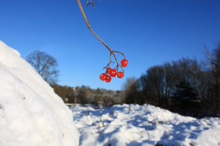 guelder: A close up of a guelder rose twig with red berries hanging in front of blurred winter background