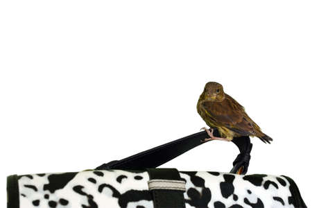 Little cute bird sits on a black and white spotted bag handle isolated on white background