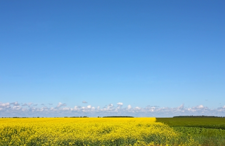 Landscape of agricultural farmland field of yellow flowers, green crops, blue sky and some clouds above horizon Stock Photo