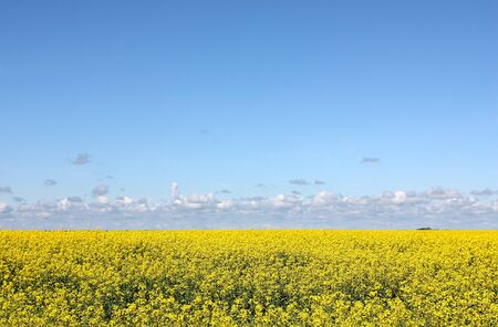 Big agricultural farmland field of yellow rapeseed blossoms, blue sky and some clouds above horizon