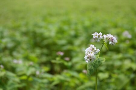Close up of a white buckwheat blossom against blurred green background