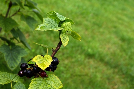 A branch of black currant bush with berries and green leaves photo