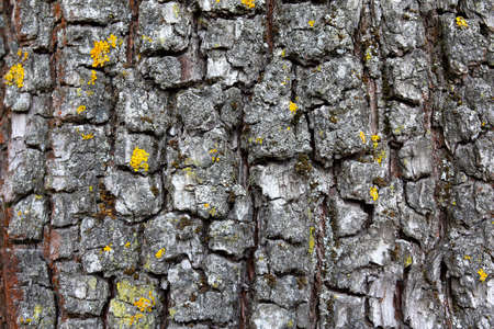 Old tree bark  very detailed texture background