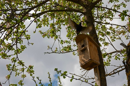 Starling bird flying out of its nest box in the blooming garden