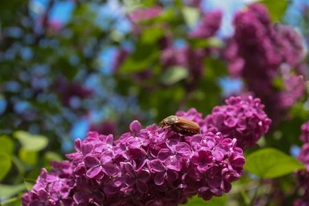 Maybug is sitting on a lilac bush blossom