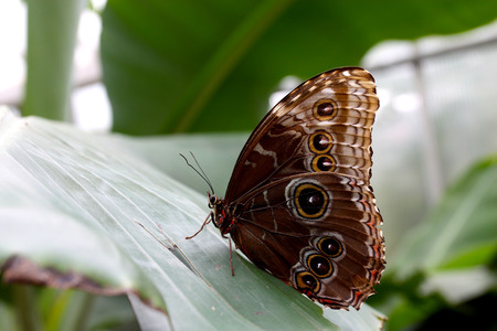 Profile of Blue Morpho butterfly sitting on a big green tropical plant leaf with it s wings closed