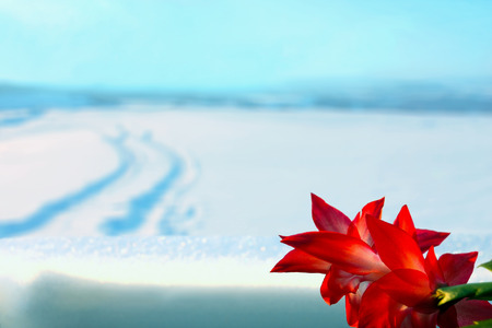 windowsill: Beautiful red flower indoor on windowsill in contrast of cold blurred winter landscape behind the glass outside with a car tracks disappearing in distance