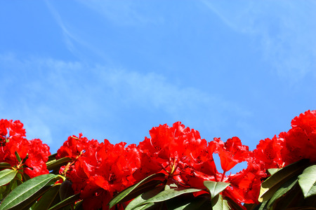 Bright red rhododendron flowers isolated against blue sky Stock Photo