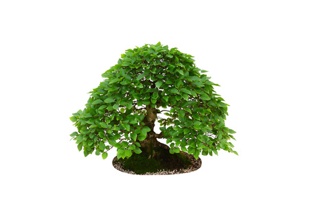 Carpinus betulus hornbeam miniature bonsai tree isolated on white background
