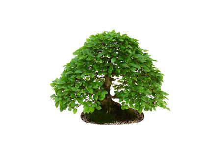 Carpinus betulus hornbeam miniature bonsai tree isolated on white background