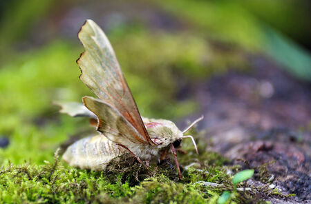 Close up of female Lime Hawk moth on the ground, side view, low angle  Stock Photo