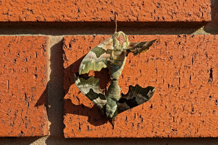 Close up of 2 two mating Lime Hawk moths hanging on the red brick wall