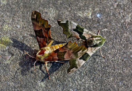 Pair of camouflage colors colours Mimas tiliae, known as the Lime Hawk-moth, moths butterflies mating on the grey gray pavement, top view