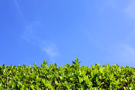Top of green hedge and blue sky