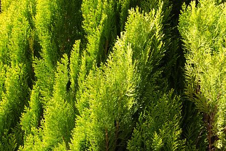 Sun shines on green thuja plant  Close up shot