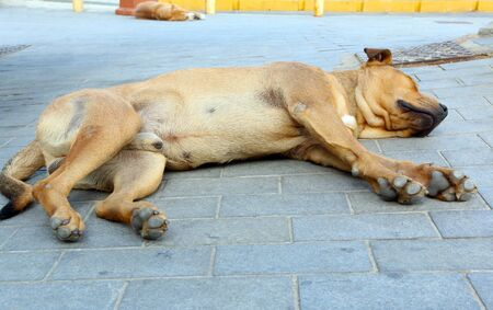 Low angle shot of two brown homeless dogs sleeping on the pavement in the city in the midday heat. Close up of the whole male dog body.