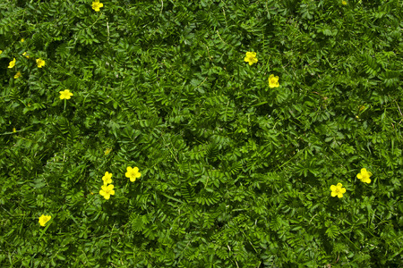 Silverweed Argentina anserina herb grass background with yellow flowers Stock Photo