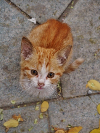 Homeless ginger cat on the street looking at a photographer Stock Photo