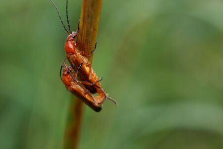 copulate: Two insects copulating