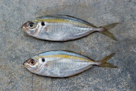 The yellow stripe trevally fish on the texture of the concrete. Stock Photo