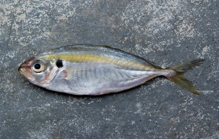The yellow stripe trevally fish on the texture of the concrete. Stock Photo - 11718783