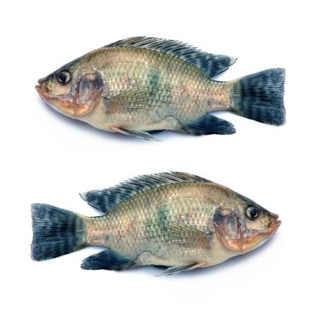 민물의: 신선한 생선은 흰 배경에 고립