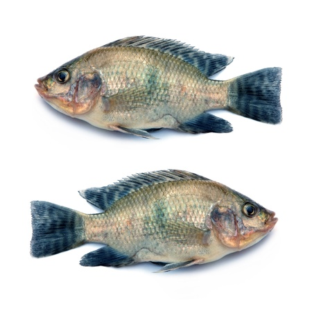 cyprinoid: Fresh fish isolated on a white background  Stock Photo