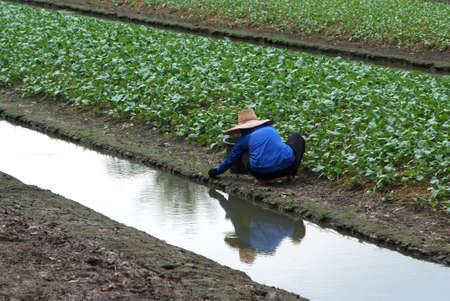 Gardeners are working in the vegetable garden  photo