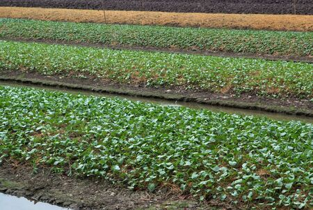 Planting vegetables in the rural areas of Bangkok  photo