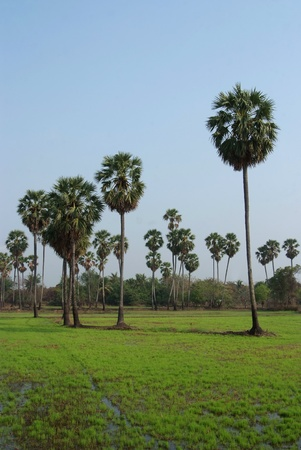 Sugar palm tree in rice field, Thailand Stock Photo - 12756727
