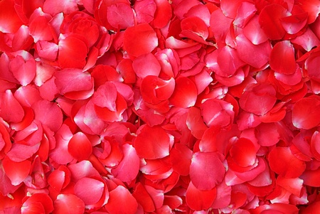 rose petals: Background of red rose petals