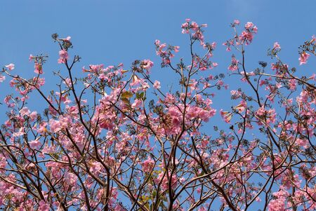 Tebebuia Flower Pink trumpet  blooming in Spring season
