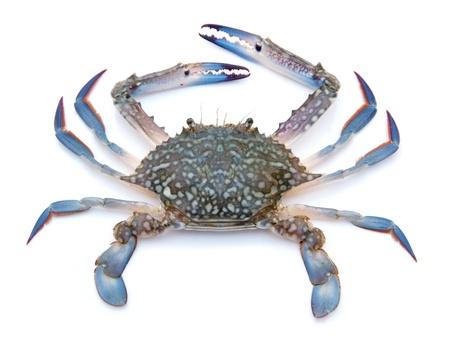Blauwe krab geïsoleerd op witte achtergrond Stockfoto