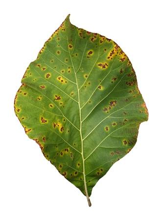 Decomposition of Teak Leaf, close up, isolated on white background Stock Photo - 15440502