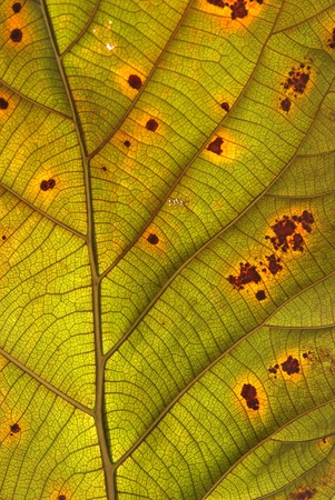 Decomposition of Teak Leaf, close up Stock Photo - 15440519