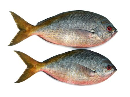 Yellowtail fusilier fish isolated on white background  photo