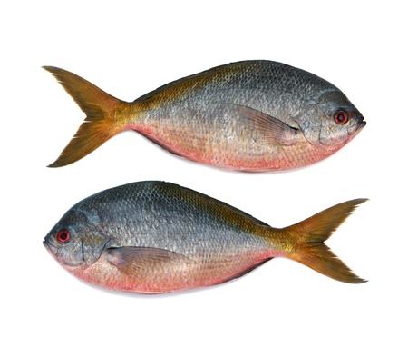 cyprinoid: Yellowtail fusilier fish isolated on white background