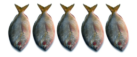 Yellowtail fusilier fish isolated on white background  Stock Photo - 15469120