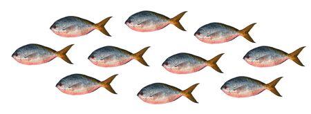 scardinius: Yellowtail fusilier fish isolated on white background