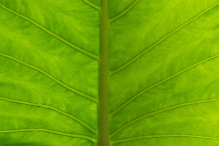 Close up to a Giant Taro, Alocasia or Elephant ear green leaf texture