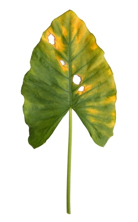 decomposition: Decomposition of  Giant Taro, Alocasia or Elephant ear green leaf texture isolated on white background