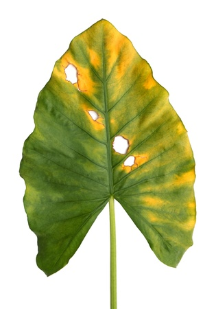 Decomposition of  Giant Taro, Alocasia or Elephant ear green leaf texture isolated on white background