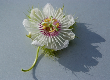 Purple passion Flower , Passiflora foetida Linn   Stock Photo