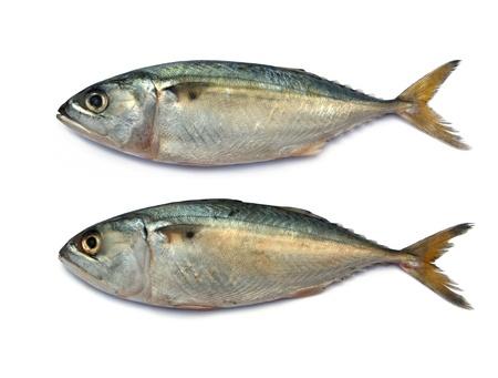 Fresh mackerel fish isolated on the white background  photo